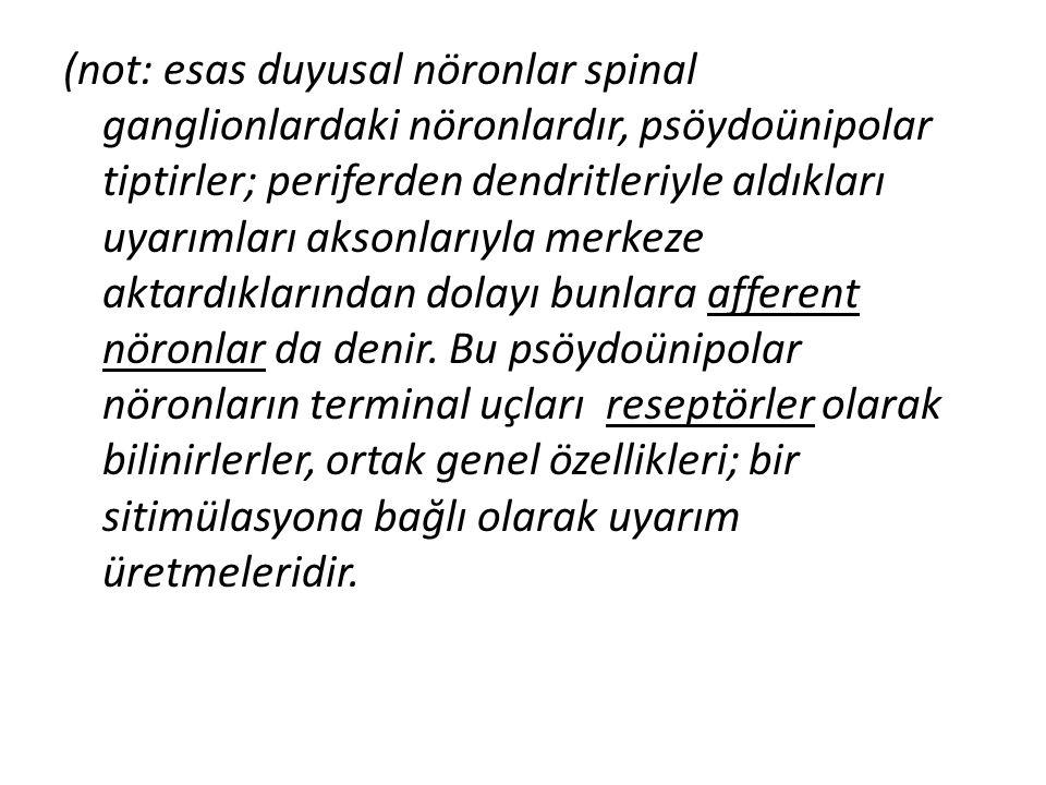 (not: esas duyusal nöronlar spinal ganglionlardaki nöronlardır, psöydoünipolar tiptirler; periferden dendritleriyle aldıkları uyarımları aksonlarıyla merkeze aktardıklarından dolayı bunlara afferent nöronlar da denir.