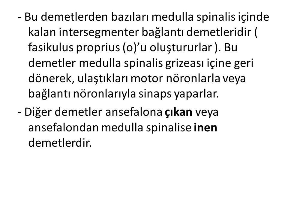 - Bu demetlerden bazıları medulla spinalis içinde kalan intersegmenter bağlantı demetleridir ( fasikulus proprius (o)'u oluştururlar ). Bu demetler medulla spinalis grizeası içine geri dönerek, ulaştıkları motor nöronlarla veya bağlantı nöronlarıyla sinaps yaparlar.