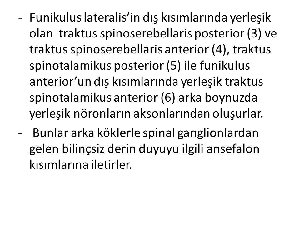 Funikulus lateralis'in dış kısımlarında yerleşik olan traktus spinoserebellaris posterior (3) ve traktus spinoserebellaris anterior (4), traktus spinotalamikus posterior (5) ile funikulus anterior'un dış kısımlarında yerleşik traktus spinotalamikus anterior (6) arka boynuzda yerleşik nöronların aksonlarından oluşurlar.