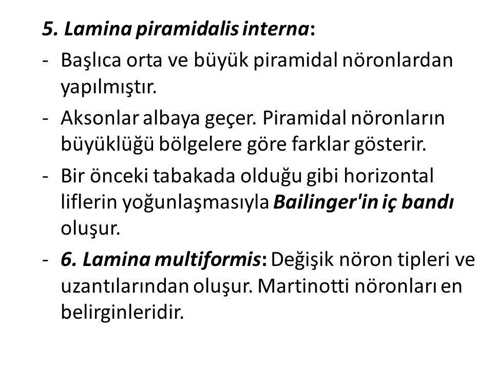 5. Lamina piramidalis interna: