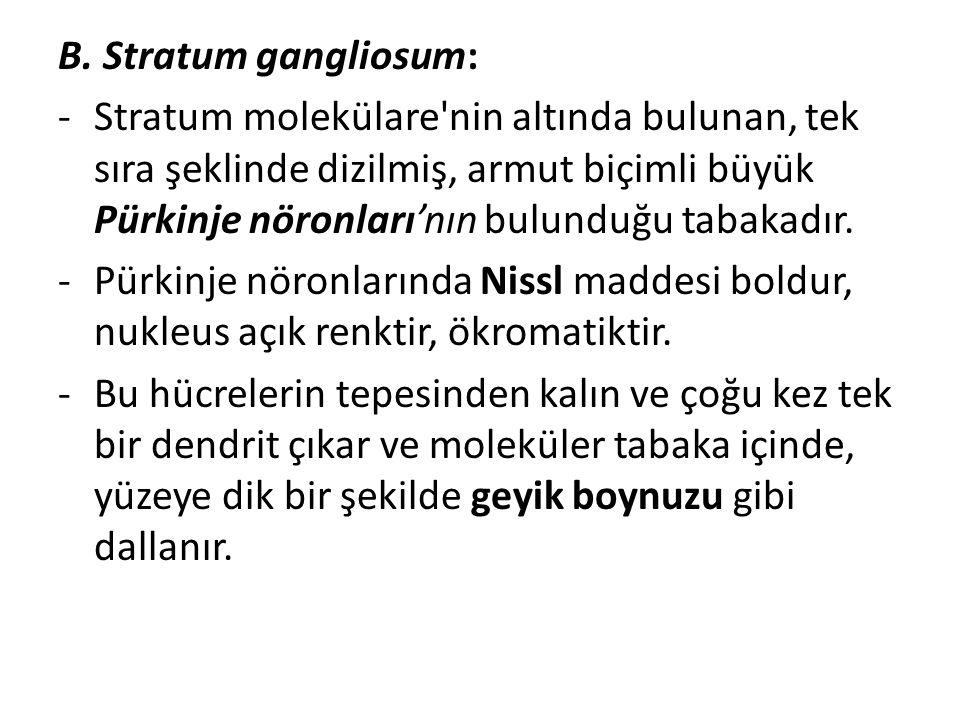 B. Stratum gangliosum:
