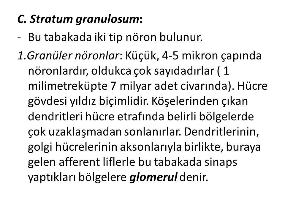 C. Stratum granulosum: Bu tabakada iki tip nöron bulunur.