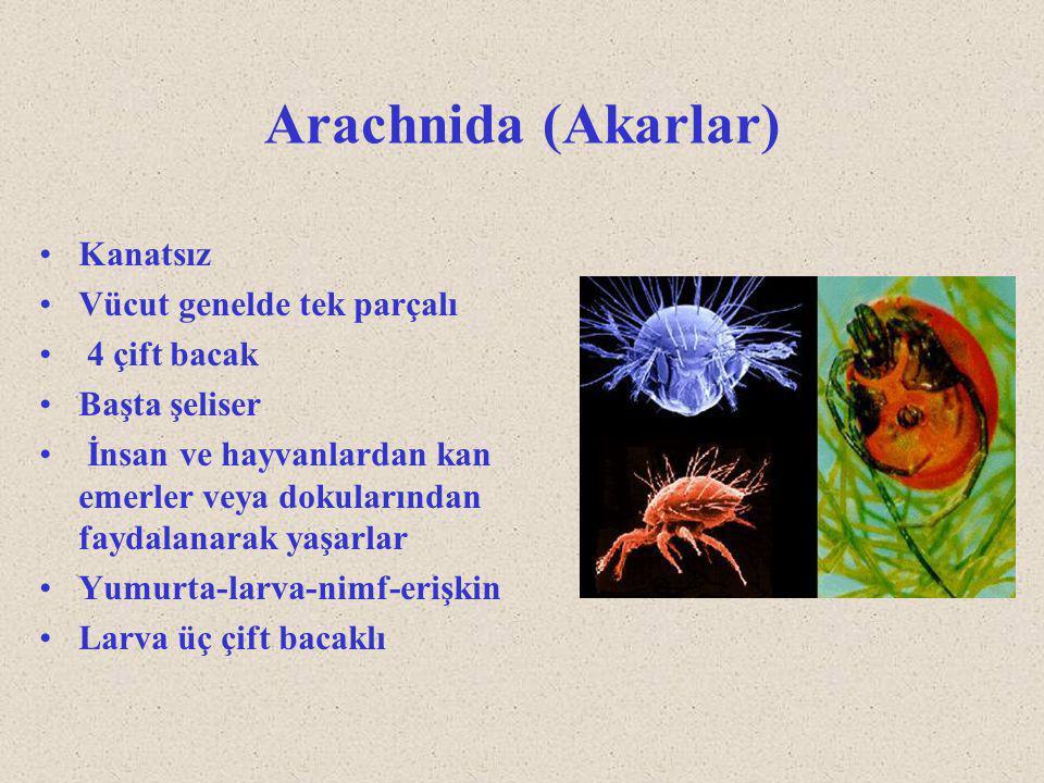 Arachnida (Akarlar) Kanatsız Vücut genelde tek parçalı 4 çift bacak