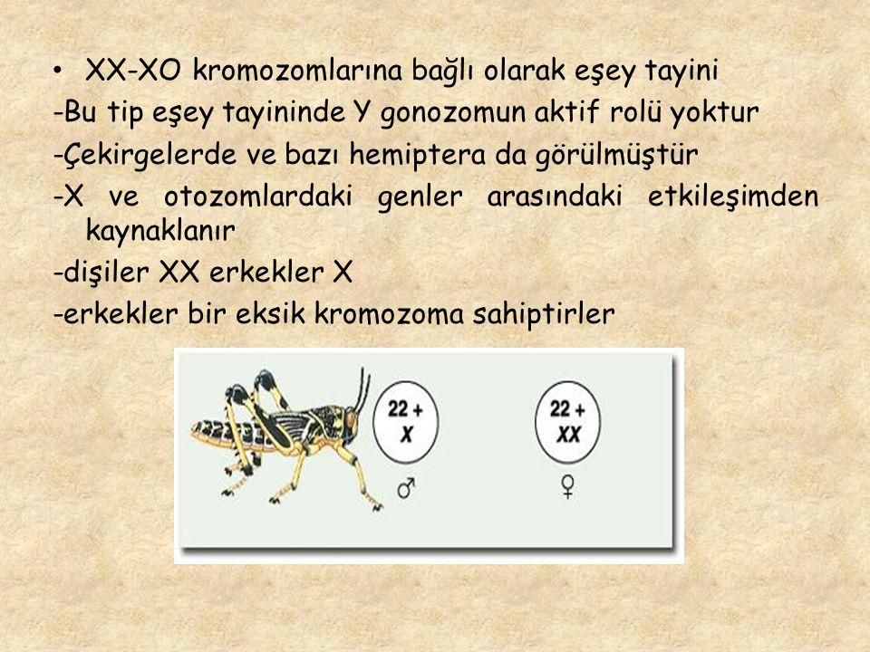 XX-XO kromozomlarına bağlı olarak eşey tayini