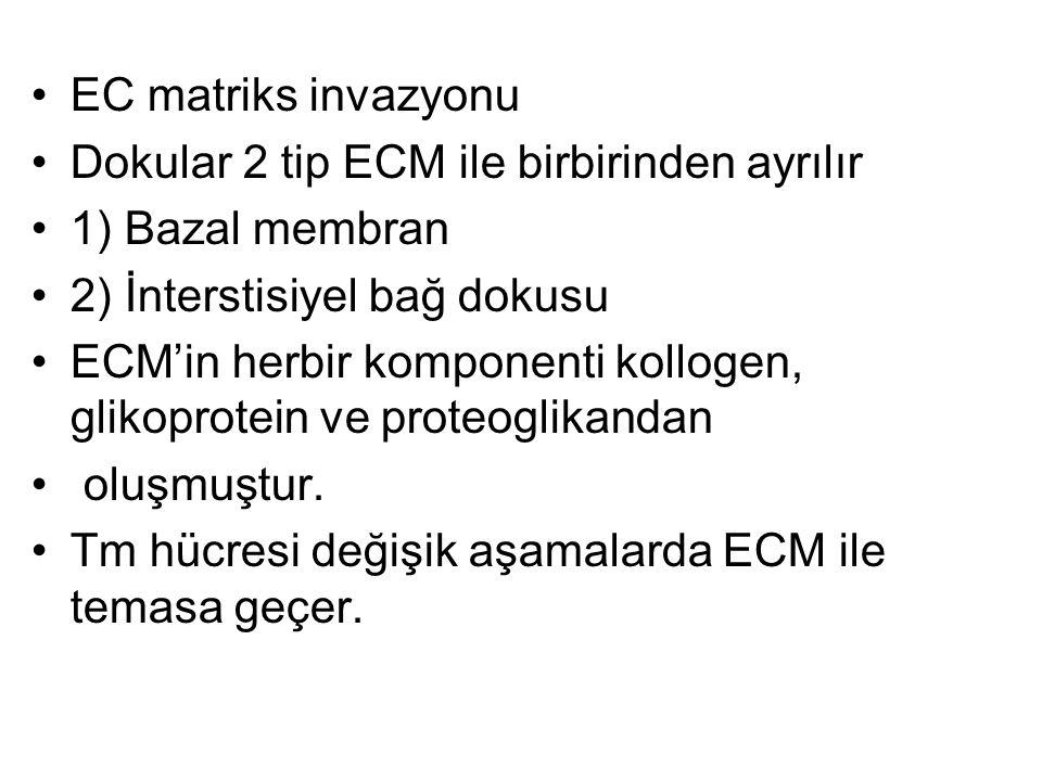 EC matriks invazyonu Dokular 2 tip ECM ile birbirinden ayrılır. 1) Bazal membran. 2) İnterstisiyel bağ dokusu.