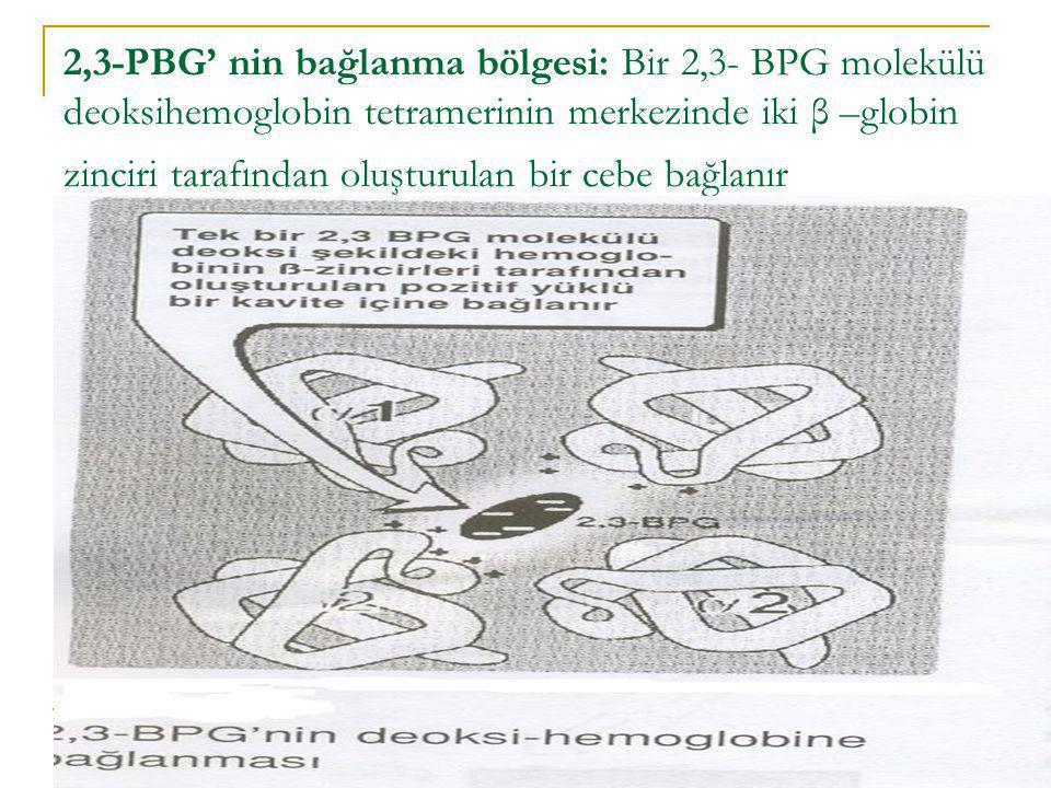 2,3-PBG' nin bağlanma bölgesi: Bir 2,3- BPG molekülü deoksihemoglobin tetramerinin merkezinde iki β –globin zinciri tarafından oluşturulan bir cebe bağlanır