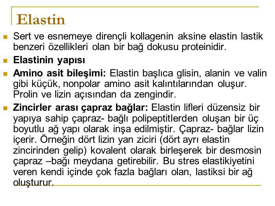 Elastin Sert ve esnemeye dirençli kollagenin aksine elastin lastik benzeri özellikleri olan bir bağ dokusu proteinidir.