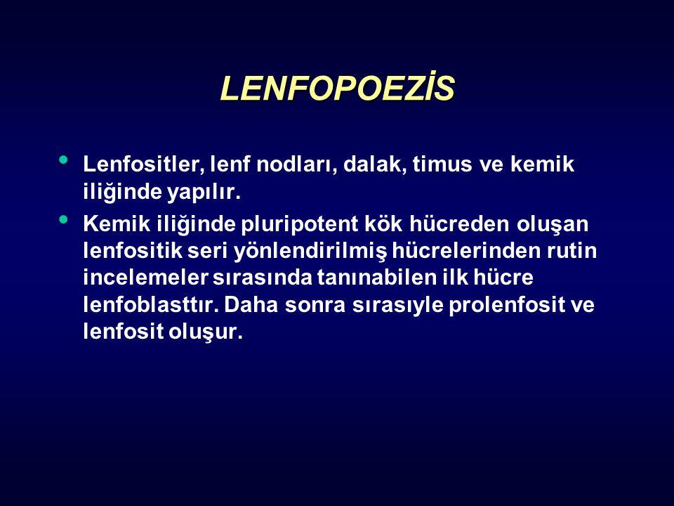 LENFOPOEZİS Lenfositler, lenf nodları, dalak, timus ve kemik iliğinde yapılır.
