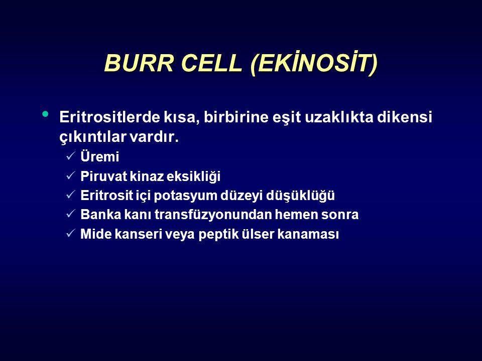 BURR CELL (EKİNOSİT) Eritrositlerde kısa, birbirine eşit uzaklıkta dikensi çıkıntılar vardır. Üremi.