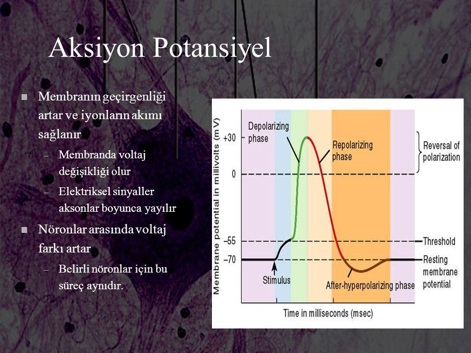Aksiyon Potansiyel Membranın geçirgenliği artar ve iyonların akımı sağlanır. Membranda voltaj değişikliği olur.
