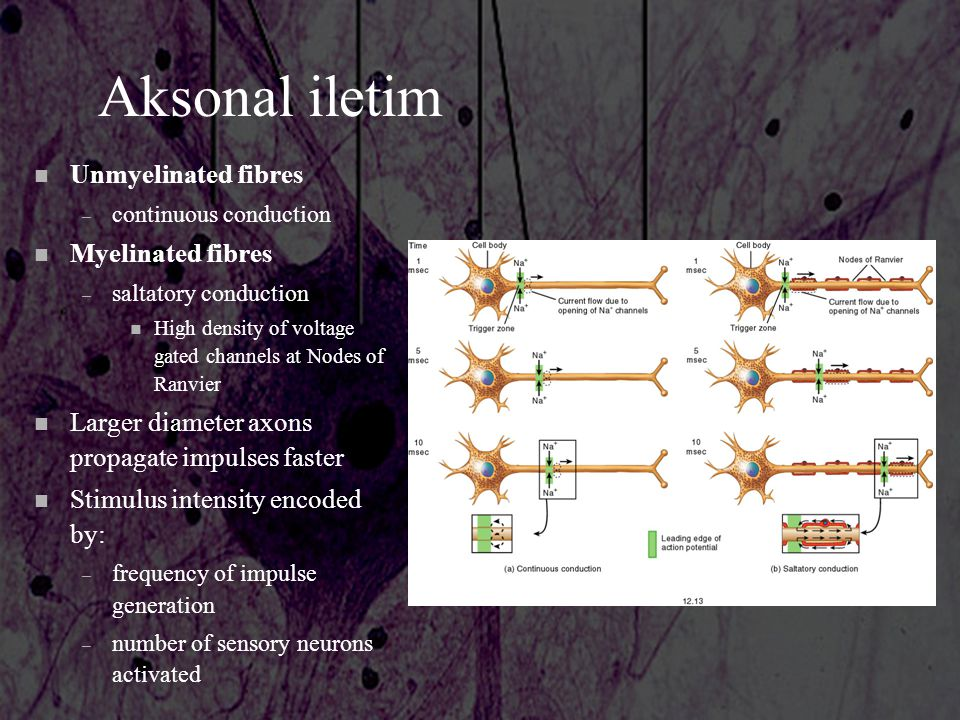 Aksonal iletim Unmyelinated fibres Myelinated fibres