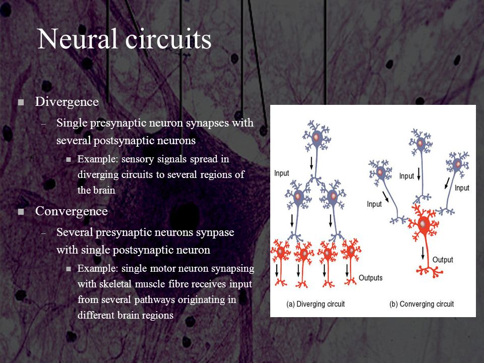 Neural circuits Divergence Convergence