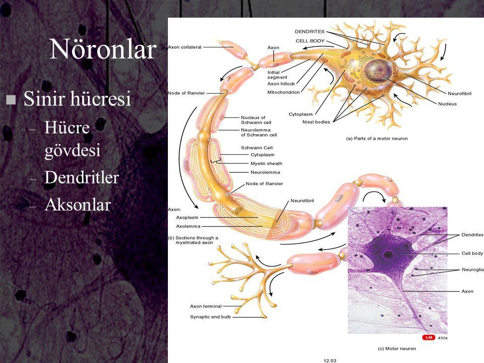 Nöronlar Sinir hücresi Hücre gövdesi Dendritler Aksonlar