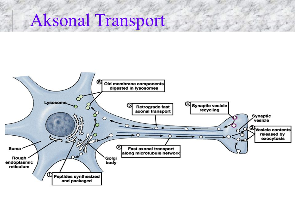 Aksonal Transport