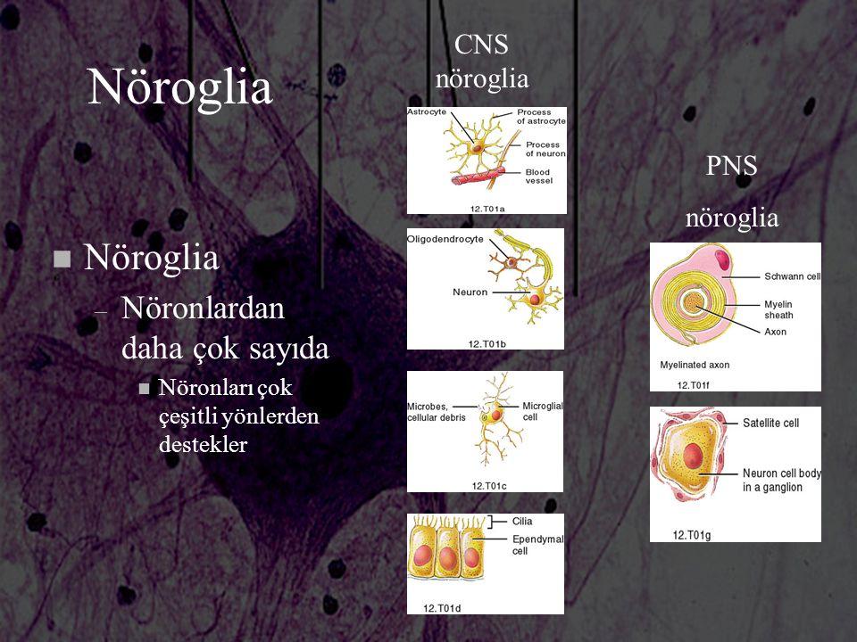 Nöroglia Nöroglia Nöronlardan daha çok sayıda CNS nöroglia PNS