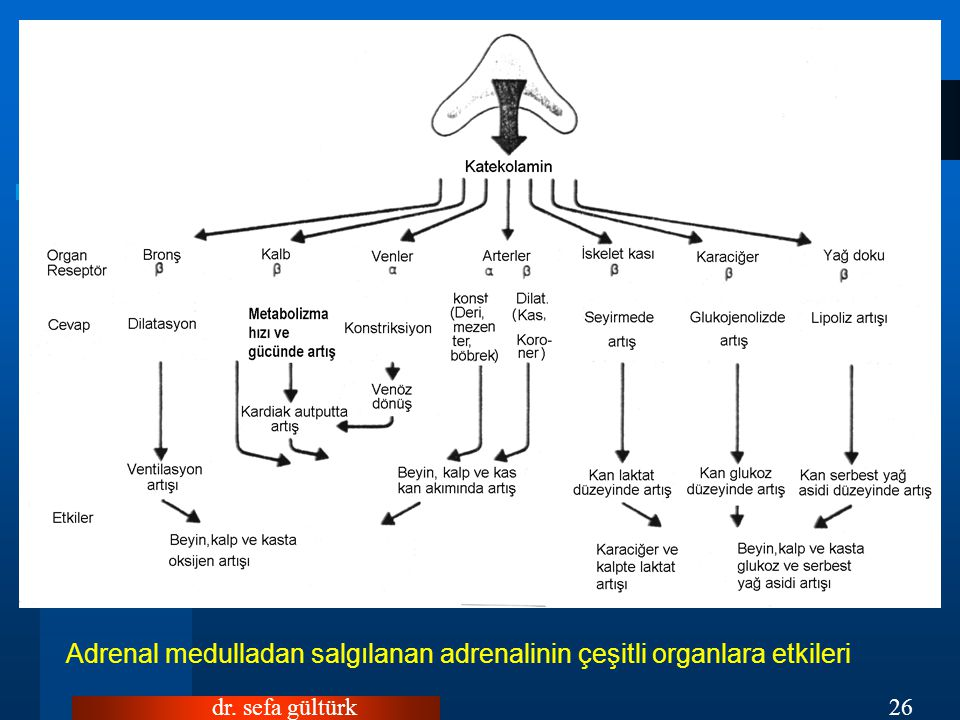 Adrenal medulladan salgılanan adrenalinin çeşitli organlara etkileri