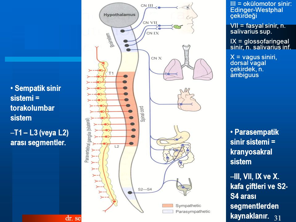 Sempatik sinir sistemi = torakolumbar sistem