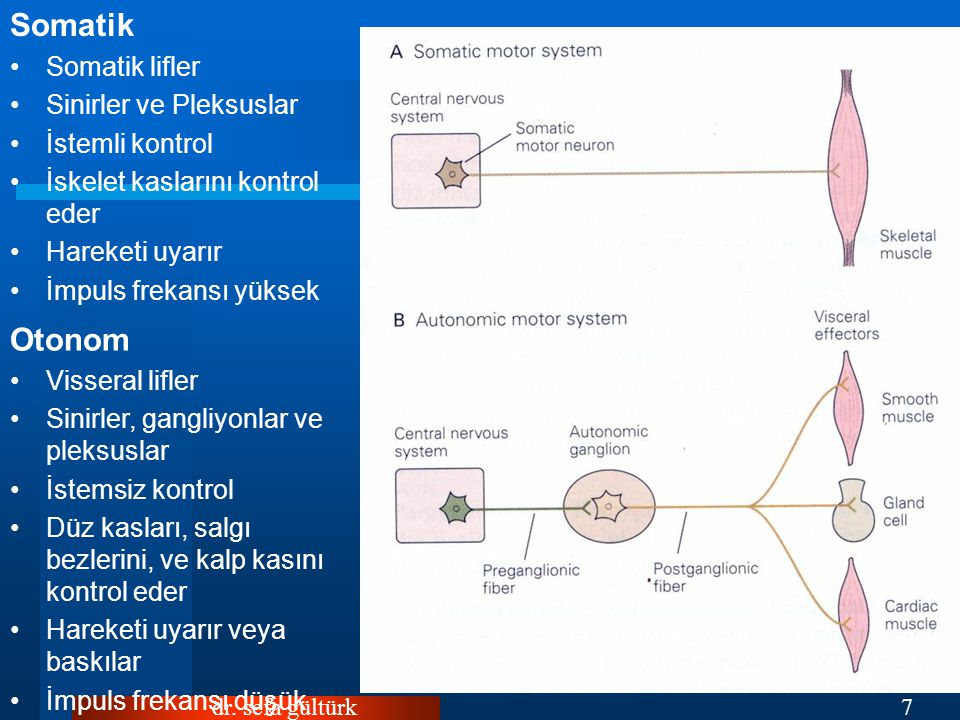 Somatik Otonom Somatik lifler Sinirler ve Pleksuslar İstemli kontrol