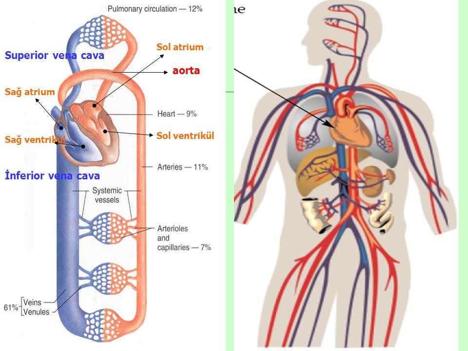 Superior vena cava aorta İnferior vena cava Sol atrium Sağ atrium