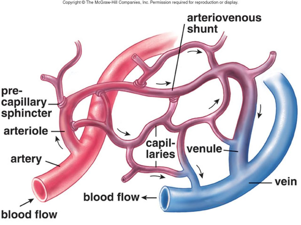 A capillary bed forms a maze of capillary vessels that lies between an arteriole and a venule.
