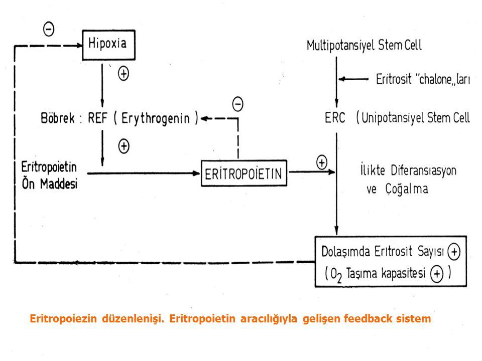 Eritropoiezin düzenlenişi