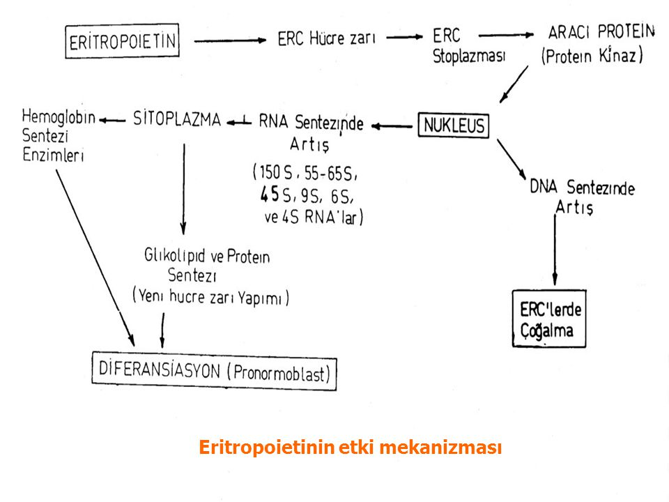 Eritropoietinin etki mekanizması