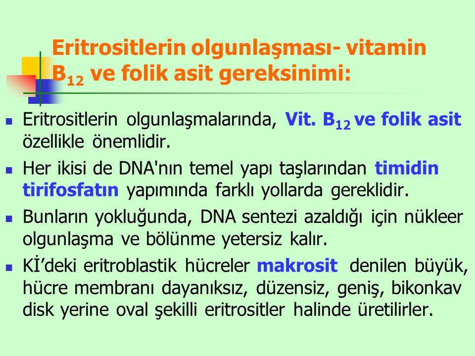 Eritrositlerin olgunlaşması- vitamin B12 ve folik asit gereksinimi: