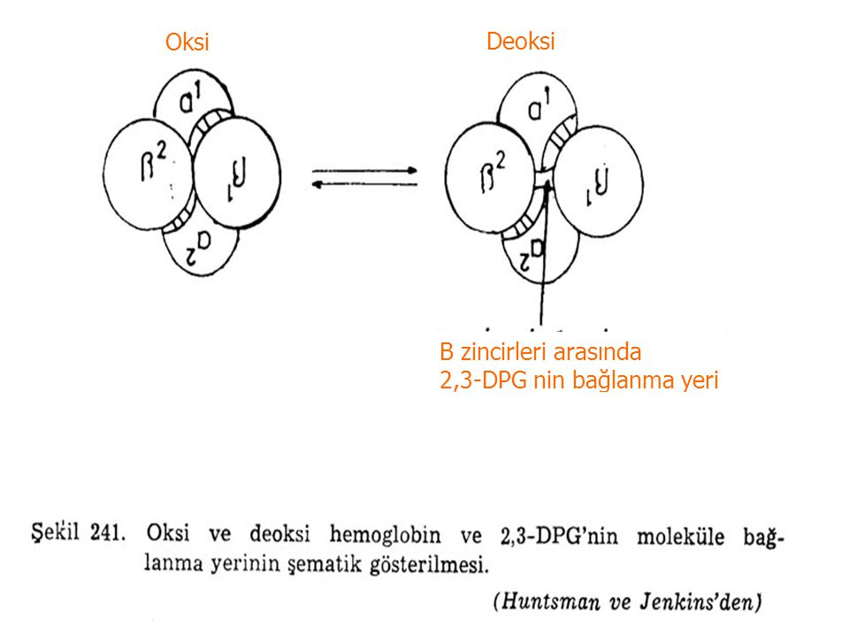 Oksi Deoksi Β zincirleri arasında 2,3-DPG nin bağlanma yeri