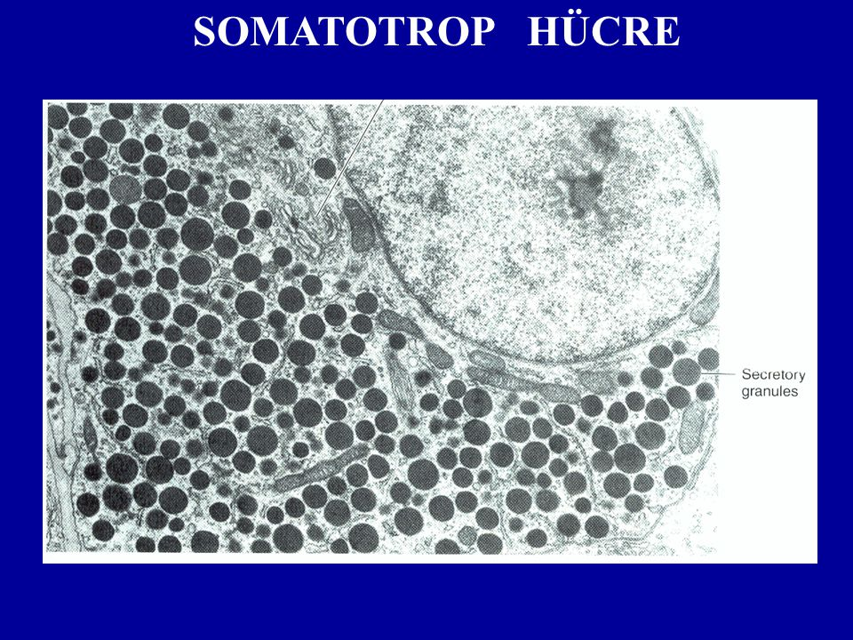 SOMATOTROP HÜCRE