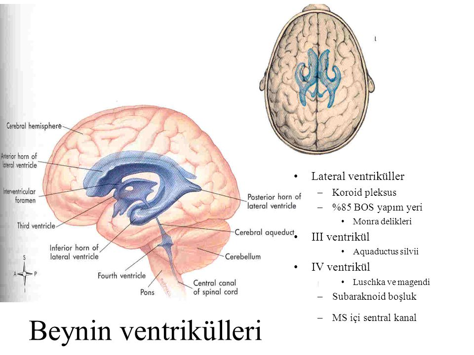 Beynin ventrikülleri Lateral ventriküller III ventrikül IV ventrikül