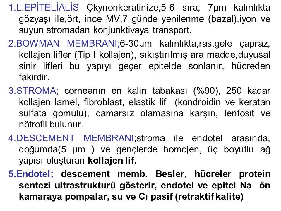 1.L.EPİTELİALİS Çkynonkeratinize,5-6 sıra, 7µm kalınlıkta gözyaşı ile,ört, ince MV,7 günde yenilenme (bazal),iyon ve suyun stromadan konjunktivaya transport.