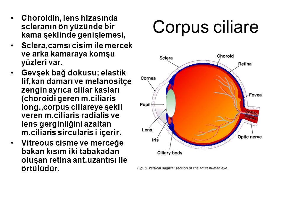 Corpus ciliare Choroidin, lens hizasında scleranın ön yüzünde bir kama şeklinde genişlemesi,
