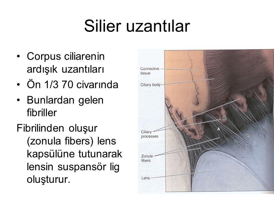 Silier uzantılar Corpus ciliarenin ardışık uzantıları