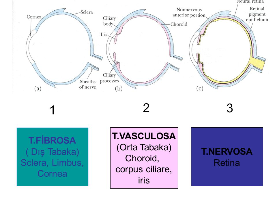 2 3 1 T.FİBROSA ( Dış Tabaka) Sclera, Limbus, Cornea T.VASCULOSA