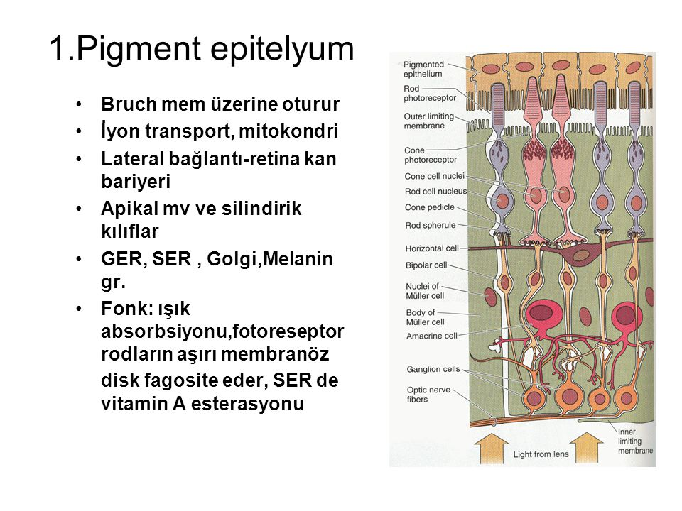 1.Pigment epitelyum Bruch mem üzerine oturur