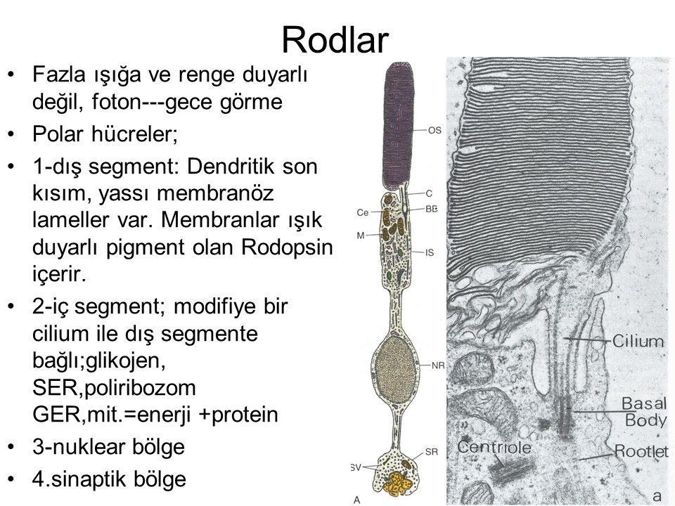 Rodlar Fazla ışığa ve renge duyarlı değil, foton---gece görme