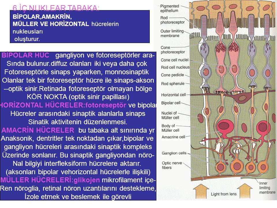 6.İÇ NUKLEAR TABAKA: BİPOLAR HÜC: gangliyon ve fotoreseptörler ara-