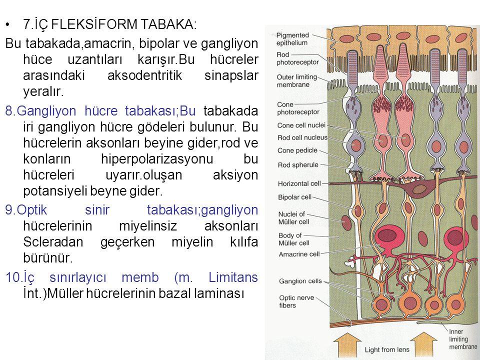 7.İÇ FLEKSİFORM TABAKA: Bu tabakada,amacrin, bipolar ve gangliyon hüce uzantıları karışır.Bu hücreler arasındaki aksodentritik sinapslar yeralır.