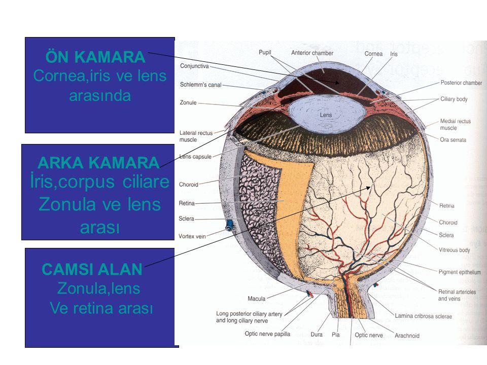 İris,corpus ciliare Zonula ve lens arası ÖN KAMARA Cornea,iris ve lens