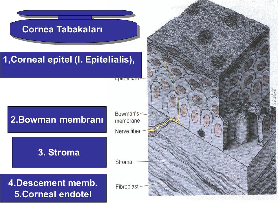 Cornea Tabakaları 1,Corneal epitel (l. Epitelialis), 2.Bowman membranı. 3. Stroma. 4.Descement memb.