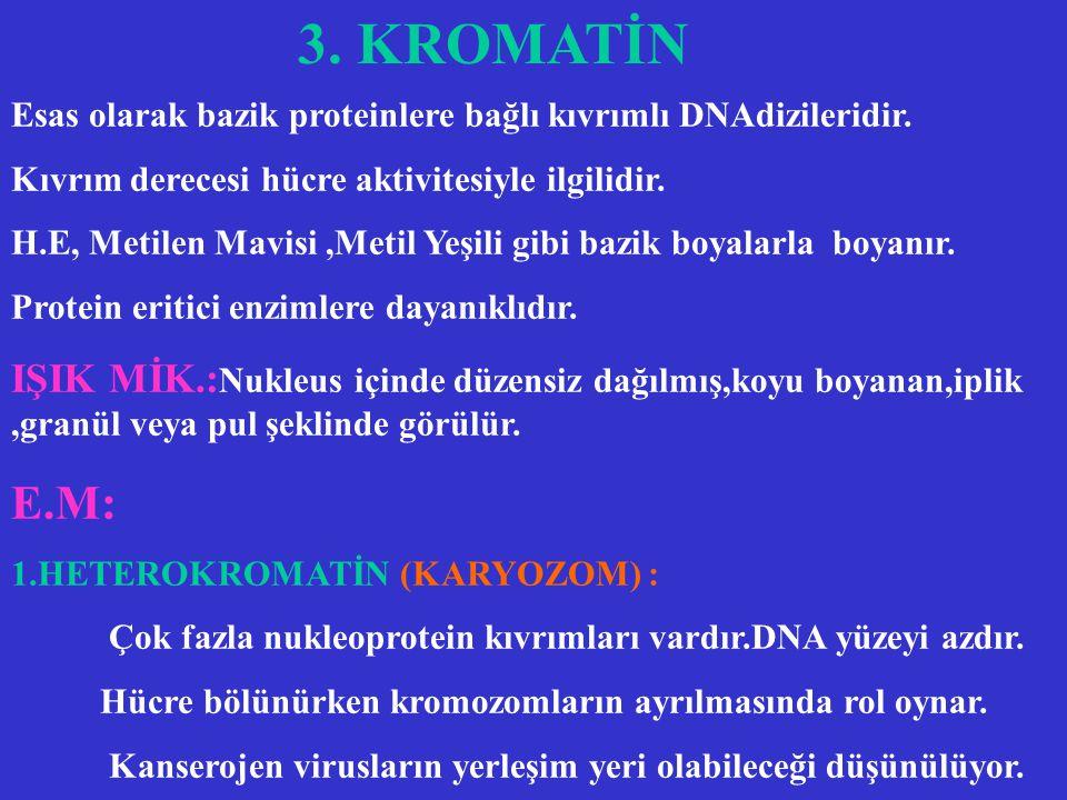3. KROMATİN Esas olarak bazik proteinlere bağlı kıvrımlı DNAdizileridir. Kıvrım derecesi hücre aktivitesiyle ilgilidir.