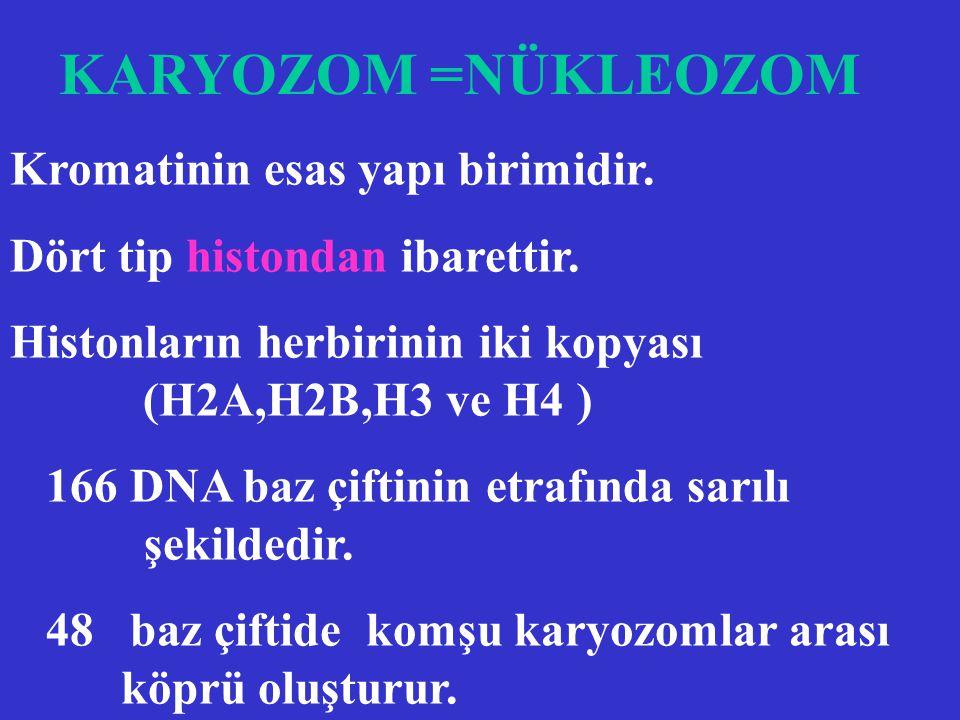KARYOZOM =NÜKLEOZOM Kromatinin esas yapı birimidir.