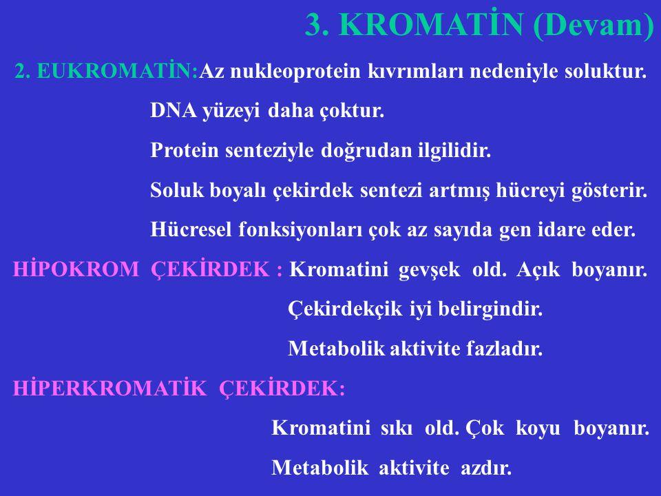 2. EUKROMATİN:Az nukleoprotein kıvrımları nedeniyle soluktur.