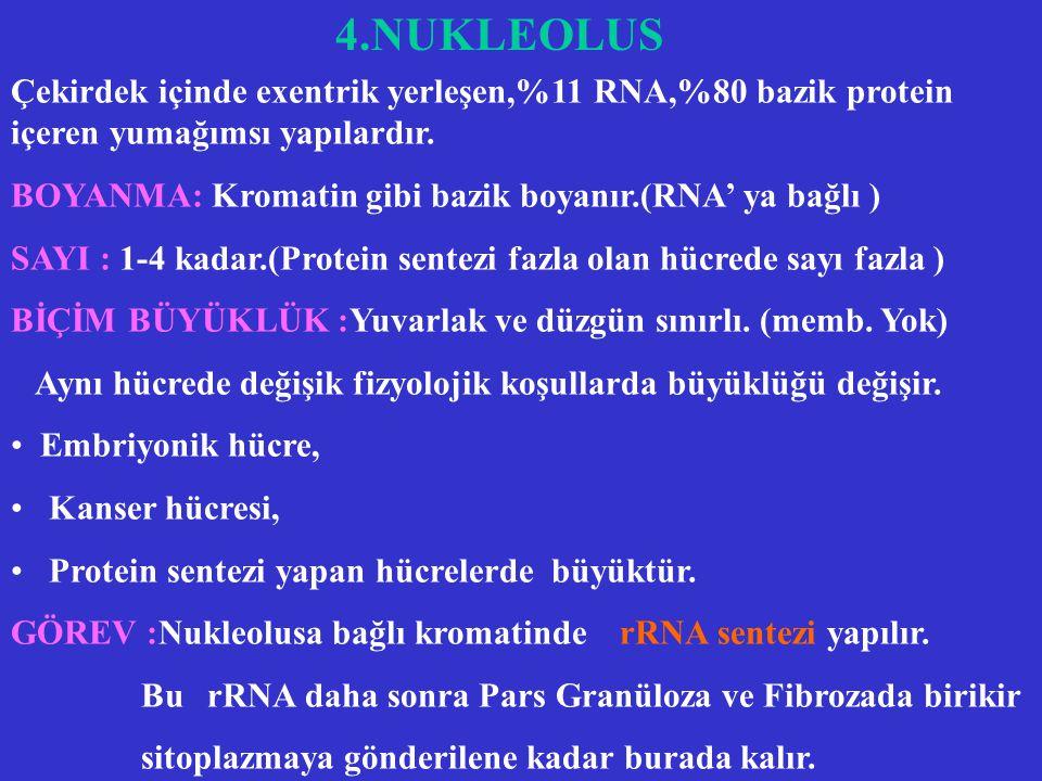 4.NUKLEOLUS Çekirdek içinde exentrik yerleşen,%11 RNA,%80 bazik protein içeren yumağımsı yapılardır.