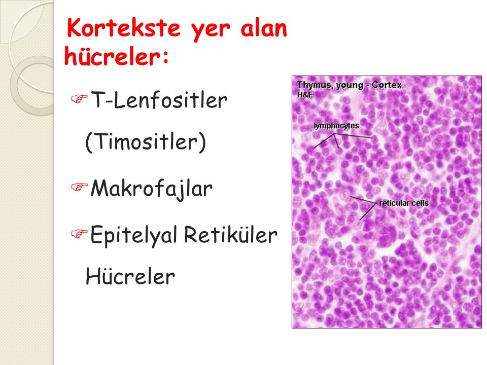 Kortekste yer alan hücreler:
