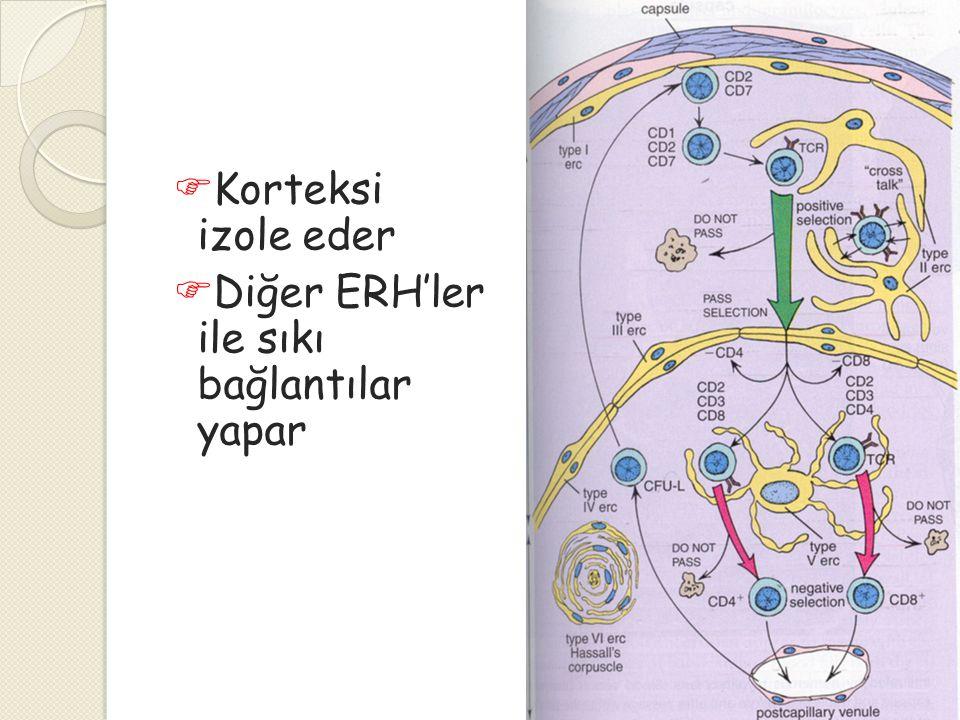 Korteksi izole eder Diğer ERH'ler ile sıkı bağlantılar yapar