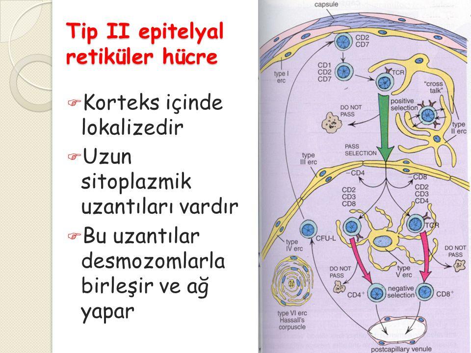 Tip II epitelyal retiküler hücre