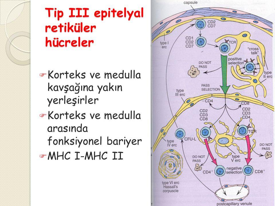 Tip III epitelyal retiküler hücreler