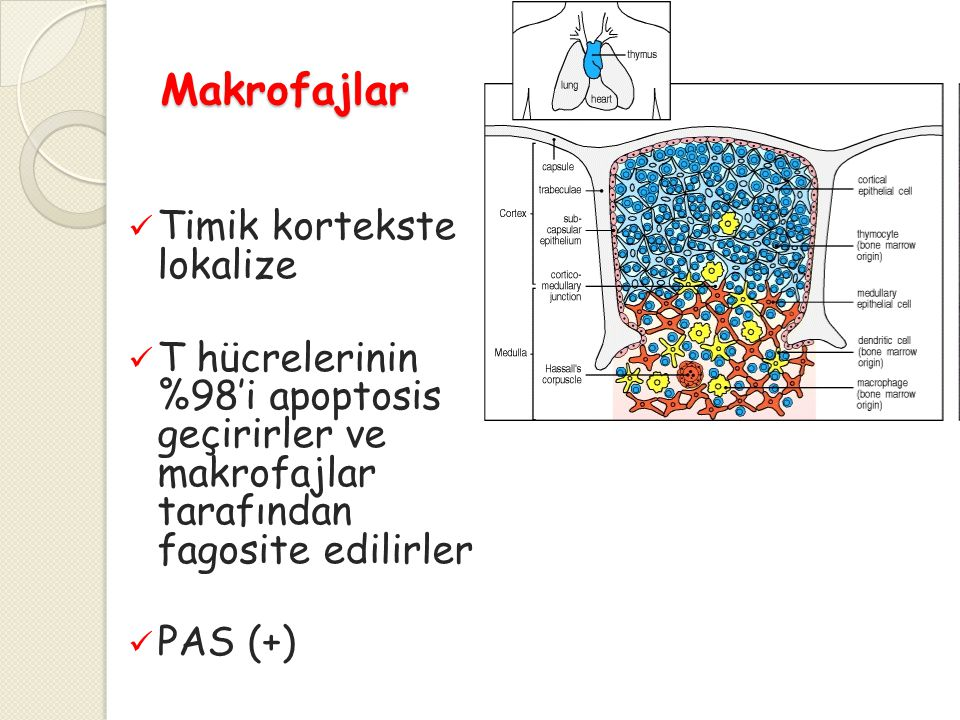 Makrofajlar Timik kortekste lokalize