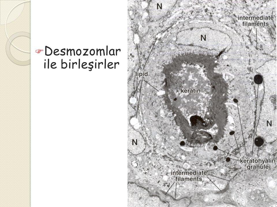 Desmozomlar ile birleşirler